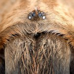 Wichita Mountains Red Tarantula - Headshot (Chelicerae)