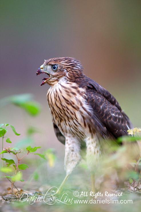 Fledgling Cooper's Hawk Calling