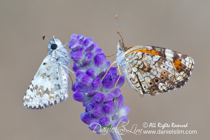 Phaon Crescent and Common Checkered Skipper