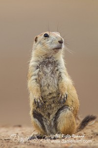 Black-Tailed Prairie Dog has Long Eyelash