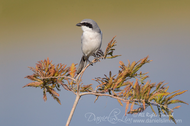 Loggerhead Shrike on a perch