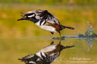 Drake Hooded Merganser Lift-off, Reflection