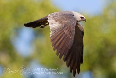 Adult Mississippi kite In Flight