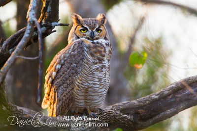 Great Horned Owl at White Rock Lake, Dallas Tx
