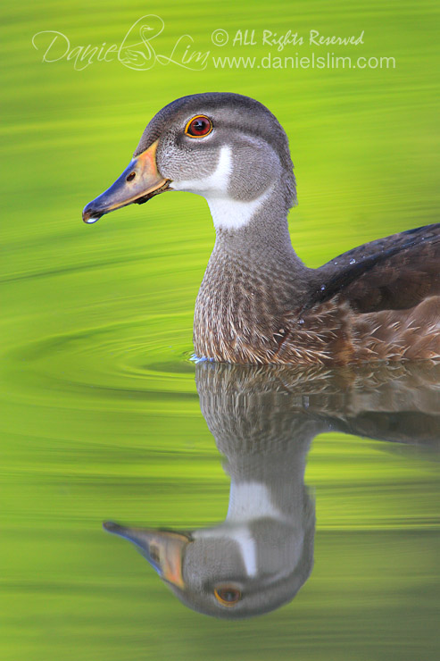 Portrait of American Wood Duck in Eclipse Plumage -- Reflection