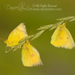 A Trio of Orange Sulphur Butterflies