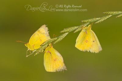 A Trio of Orange Sulphur Butterflies