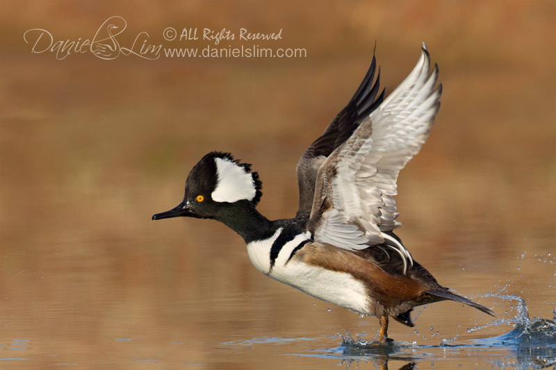 Drake Hooded Merganser Taking off