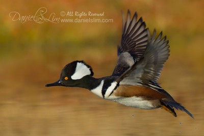 Drake Hooded Merganser in Flight