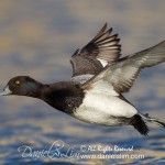 Drake Lesser Scaup takes flight