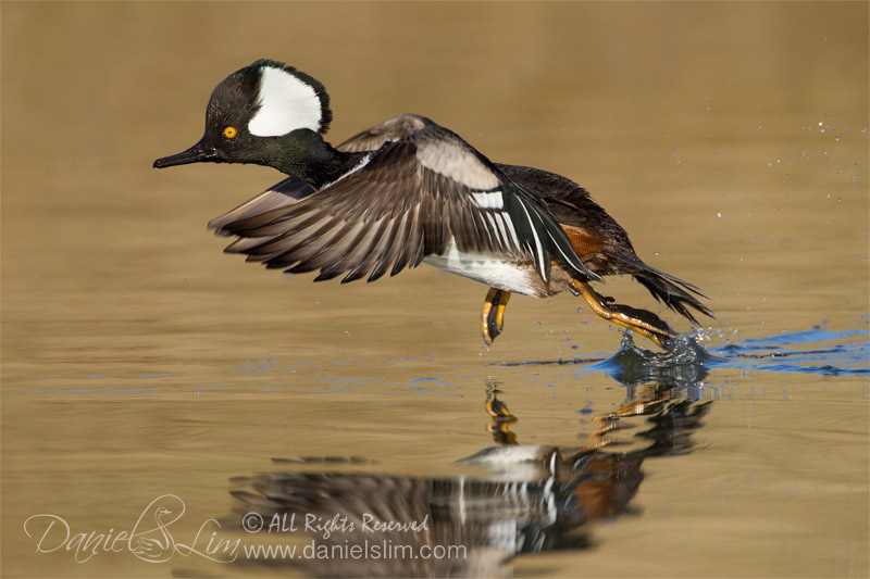 Hooded Merganser in Flight, Take off