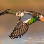 Drake Northern Shoveler in flight