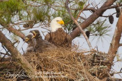 Pearland Bald Eagles - nest and eaglets