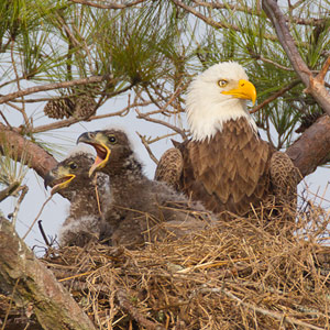 Pearland Bald Eagles – nest and eaglets
