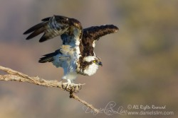 Osprey at Lake Ray Hubbard, Rowlett Texas.