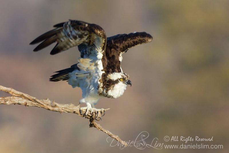 Osprey at Lake Ray Hubbard, Rowlett Texas.