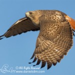Red-tailed Hawk takes flight, White Rock Lake