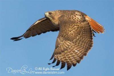 Red-tailed Hawk takes flight, White Rock Lake