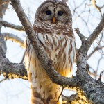 Barred Owl - White Rock Lake, Texas