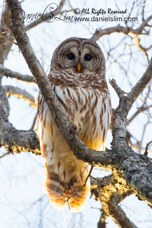Barred Owl - White Rock Lake, Texas
