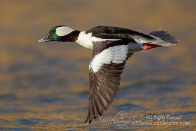 Drake Bufflehead in Flight - Los Colinas, Texas