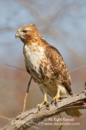 Juvenile Red-tailed Hawk on a Perch - Seagoville, TX