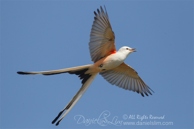 Male Scissor-tailed Flycatcher in Flight, Village Creek