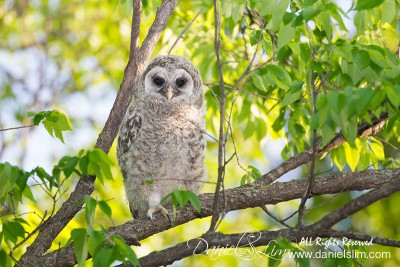Barred Owl Fledgling - White Rock Lake