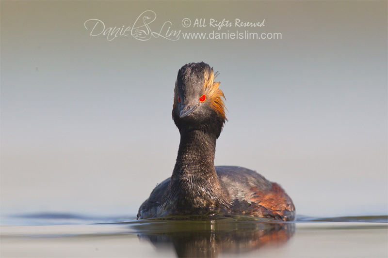 Eared Grebe in breeding color, White Rock Lake
