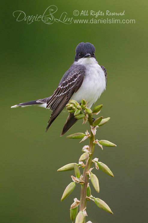 Eastern Kingbird Flycatcher