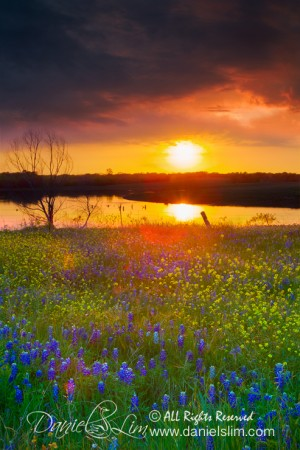 A dramatic sunset and bluebonnets - Ennis, Texas