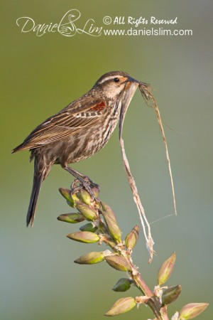Female Red-winged Black Bird with nesting material