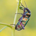 Forest Caterpillar Hunter -  Calosoma Sycophanta