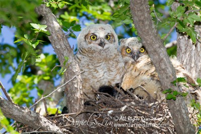 Great Horned Owlets - Fort Worth, Texas