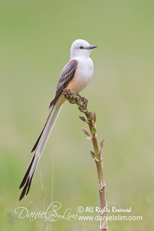 Scissor-tailed Flycatcher Perch - White Rock Lake
