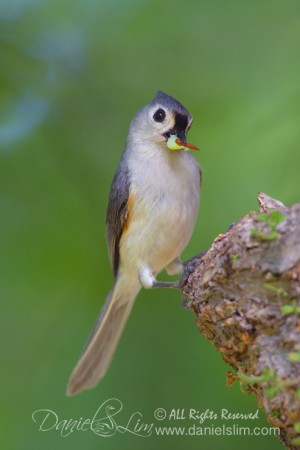 Tufted Titmouse with worms