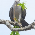 Mississippi kite with nesting material