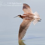 Female Wilson's Phalarope in Flight at Village Creek - Arlington, Texas