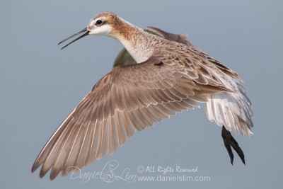 Male Wilson's Phalarope in Flight - Village Creek Drying Beds