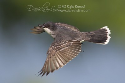 Eastern Kingbird Flycatcher in Flight