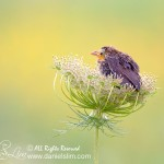 Fledgling Red-winged Blackbird on Wild Carrot Flower