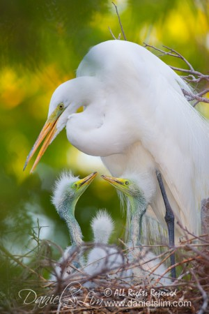 Great Egret nest and trio of chicks at the Dallas City Rookery