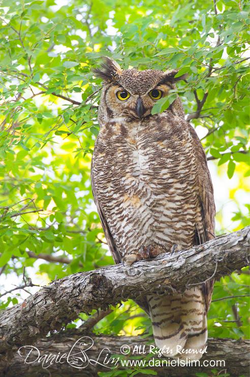 Great Horned Owl - Tarrant County, Texas