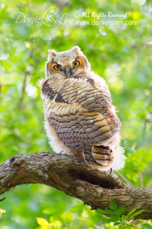 Great Horned Owlet - Tarrant County, Texas