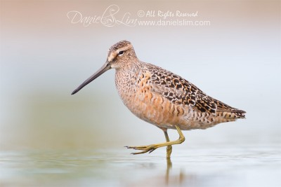 Long-billed Dowitcher - Village Creek, Arlington Texas