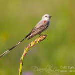 Scissor-tailed Flycatcher perched on Yucca stalk