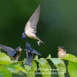 Barn Swallow feeding a trio of juvenile