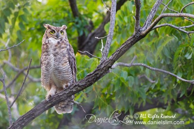 Great Horned Owl at Sunset Bay - White Rock Lake