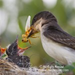 Eastern Kingbird feeds chicks with grasshopper