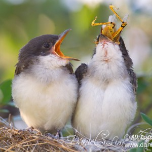 Nesting Eastern Kingbirds chowing down Grasshopper